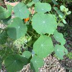 Jenny's Nasturtium leaves