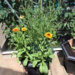 June's sunny marigolds in full bloom.