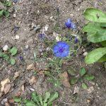 Lucy's cornflower in bloom