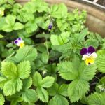 Wild Pansy flowering in amongst the wild strawberries